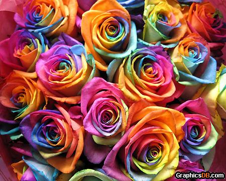 Rainbow Roses - rainbow roses